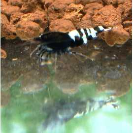 Taiwan Bee Pinto Black Multistripe