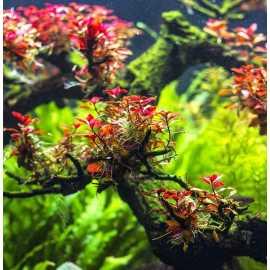 Ludwigia sp. Mini Super Red - in vitro