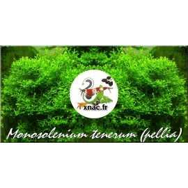 Monosolenium tenerum (Pellia) Black Friday