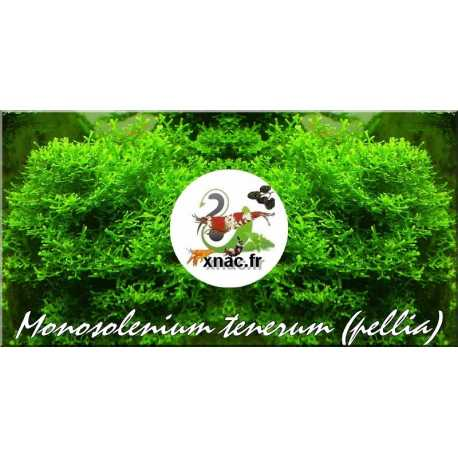 Monosolenium tenerum (Pellia) Black Friday