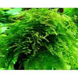 Vesicularia montagnei (X-moss, christmas moss)