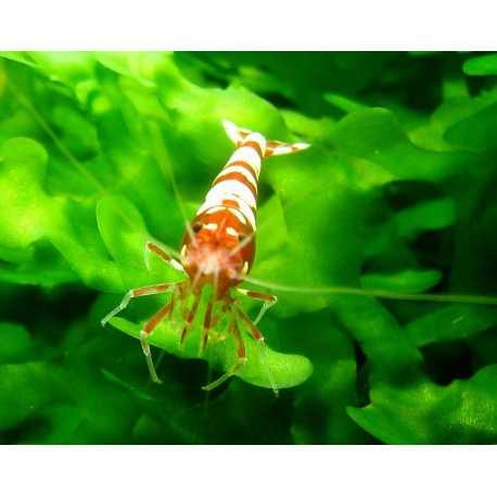 Pinto Red Multistripe ou Zebra - DNR