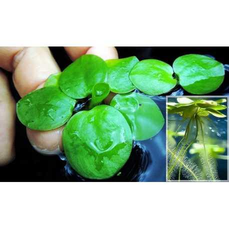 Limnobium Laevigatum (grenouillette lisse)