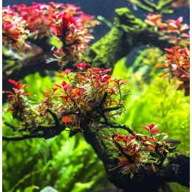 Ludwigia sp. Mini Super Red - in vitro