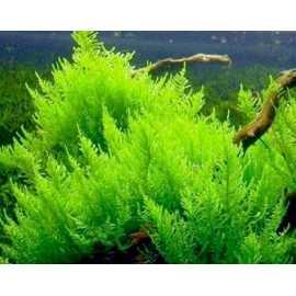 Vesicularia reticulata Erect Moss- in vitro