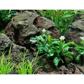 Bucephalandra Wavy Green - Pot