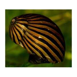 Neritina Turrita Zebra