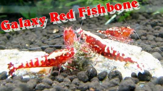Galaxy Red Fishbone