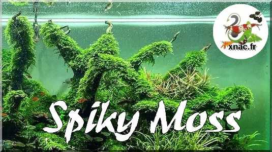"""Mousse Taxiphyllum """"Spiky"""""""